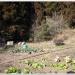 竹田直入にある野菜畑で氷と格闘